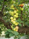 Chain of Crabapples starting to ripen - vertical stock photos