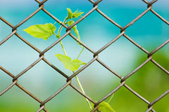 Chain link fence with fresh plant Stock Images