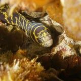 Chain moray eel marine life Caribbean sea Stock Photo