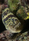 Chain moray eel on a reef. Royalty Free Stock Photos