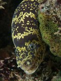 Chain moray eel on a reef. Royalty Free Stock Photography