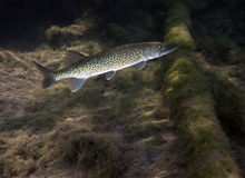 Chain Pickerel - Morrison Springs Royalty Free Stock Photos