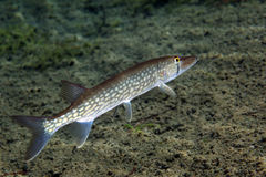 Chain Pickerel - Profile royalty free stock image