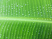 Chain of raindrops on banana leaf, abstract tropical greenery ba Stock Photography