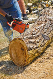 Chain Sawing Poplar Large Log. A man is using an orange chainsaw to cut a large moss covered poplar tree trunk lying on the ground Royalty Free Stock Photos