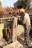 Chain-sawing a slice of tree trunk Royalty Free Stock Photo