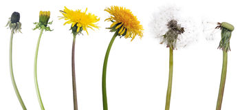 Chain of six dandelion flowers from begining to senility. Chain of dandelion flowers from begining to senility isolated on white background royalty free stock images
