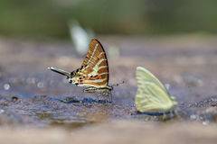 The Chain Swardtail Graphium aristeus butterfly. The Chain Swardtail Graphium aristeus ( Stoll ) in Nature on sand Stock Images