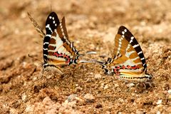 Chain swordtail butterfly Royalty Free Stock Image