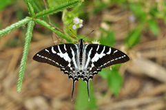 Chain Swordtail butterfly. Of thailand background Stock Photo