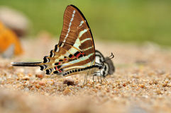 Chain Swordtail butterfly. Of thailand background Stock Images