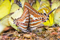 Chain swordtail butterfly Royalty Free Stock Photography