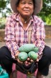 CHAINAT, ТАИЛАНД - 12-ОЕ АПРЕЛЯ 2015: Неопознанный садовник держа свежее манго в наличии стоковое изображение