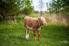 Chained brown calf on a pasture Stock Photo