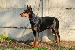 Chained Doberman Pinscher Stock Image