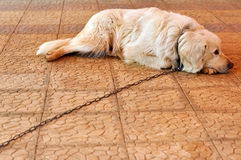 Chained dog. A chained dog rests at the limit of the chain Stock Photo