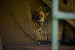 Chained dog in the Russian village. Stock Photography