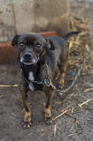 Chained dog. Sad dog chained in Romania Stock Photography
