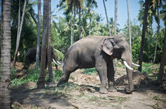 Chained Elephant Royalty Free Stock Photos