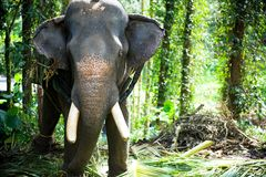 Chained Elephant Royalty Free Stock Images
