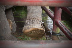 Chained elephant Royalty Free Stock Photo