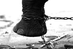Chained Elephant. A chained foot of an elephant Stock Photos