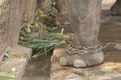 Chained elephant Stock Photo