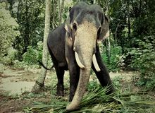 Chained Elephant Stock Images