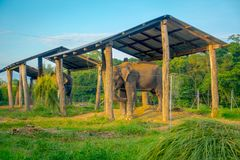 Chained elephant under a structure at outdoors, with a fence in Chitwan National Park, Nepal, cruelty concept.  stock photo