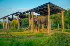 Chained elephant under a structure at outdoors, with a fence in Chitwan National Park, Nepal, cruelty concept.  royalty free stock images