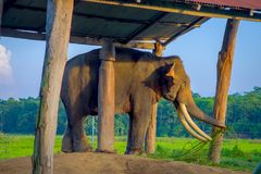 Chained elephant under a tructure at outdoors, in Chitwan National Park, Nepal, cruelty concept.  stock images