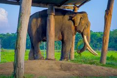 Chained elephant under a tructure at outdoors, in Chitwan National Park, Nepal, cruelty concept.  royalty free stock photos