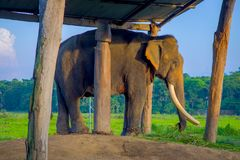 Chained elephant under a tructure at outdoors, in Chitwan National Park, Nepal, cruelty concept.  stock photo