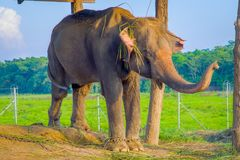 Chained elephant under a tructure at outdoors, in Chitwan National Park, Nepal, cruelty concept.  royalty free stock images