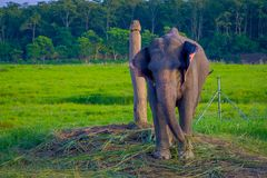 Chained elephant in a wooden pillar at outdoors, in Chitwan National Park, Nepal, cruelty concept.  stock photos