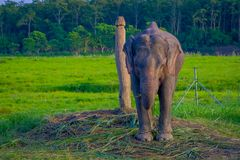Chained elephant in a wooden pillar at outdoors, in Chitwan National Park, Nepal, cruelty concept.  royalty free stock photos