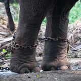 Chained elephant at a zoo Stock Image