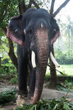 Chained elephant at a zoo Royalty Free Stock Photos