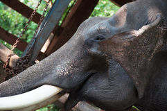 Chained elephant at a zoo Stock Images