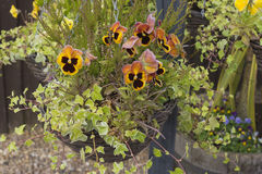 Chained hanging basket with winter flowering pansies Stock Images