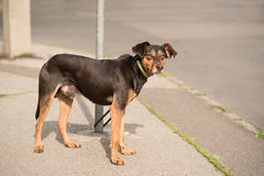 Chained mongrel dog Stock Image