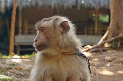 Chained monkey in a tourist area Stock Images