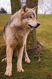 Chained Timber Wolf Royalty Free Stock Photos