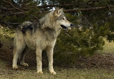 Chained Timber Wolf (Canis lupus) Stock Photo