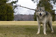 Chained Timber Wolf (Canis lupus) - Space to left Stock Image