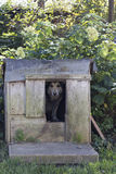 Chained up dog laying in wooden kennel with head out waiting to be released Stock Photography