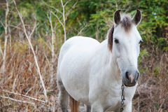 Chained white horse Royalty Free Stock Photo