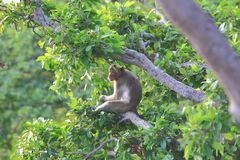 Long-tailed macaque Stock Images