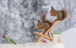 Chair for two. Close up of red squirrels standing on a chair with another squirrel aboce with a cup , table and tulip Stock Photography