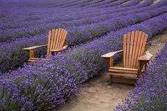 Chairs in rows of Lavender Stock Image